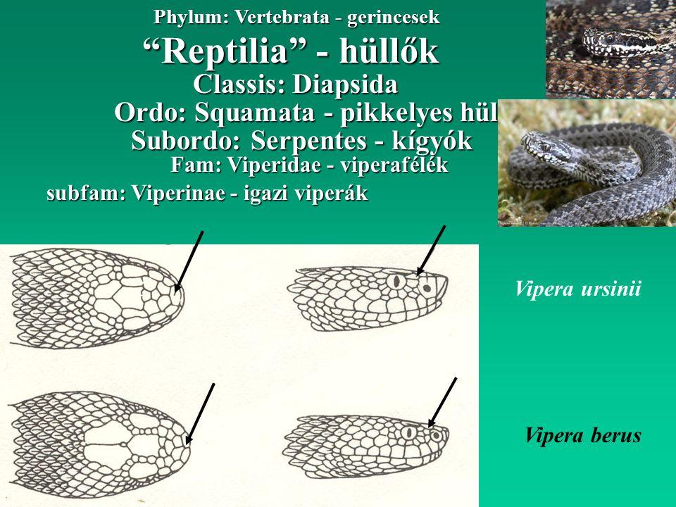 Reptilia - hüllők Phylum: Vertebrata - gerincesek Ordo: Squamata - pikkelyes hüllők Classis: Diapsida Subordo: Serpentes - kígyók Fam: Viperidae - viperafélék subfam: Viperinae - igazi viperák Vipera ursinii Vipera berus