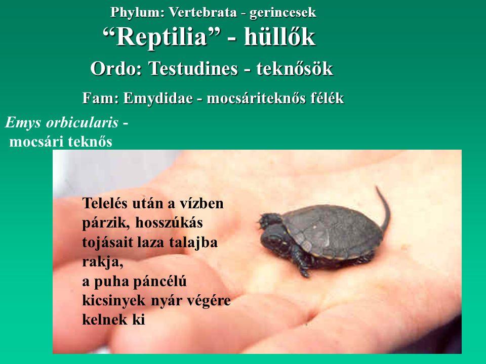 Reptilia - hüllők Phylum: Vertebrata - gerincesek Fam: Emydidae - mocsáriteknős félék Emys orbicularis - mocsári teknős Ordo: Testudines - teknősök Telelés után a vízben párzik, hosszúkás tojásait laza talajba rakja, a puha páncélú kicsinyek nyár végére kelnek ki