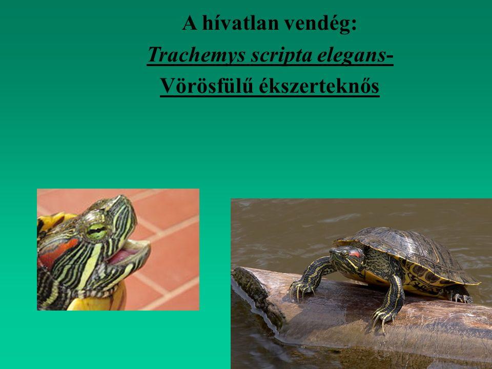 Reptilia - hüllők Phylum: Vertebrata - gerincesek Fam: Scincidae - vakondgyík félék Ordo: Squamata - pikkelyes hüllők Classis: Diapsida Ablepharus kitaibelii fitzingeri - pannon gyík 10-12 cm-ig FV.