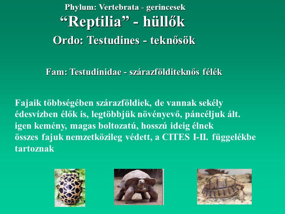 Reptilia - hüllők Phylum: Vertebrata - gerincesek Fam: Testudinidae - szárazfölditeknős félék Ordo: Testudines - teknősök Fajaik többségében szárazföldiek, de vannak sekély édesvízben élők is, legtöbbjük növényevő, páncéljuk ált.
