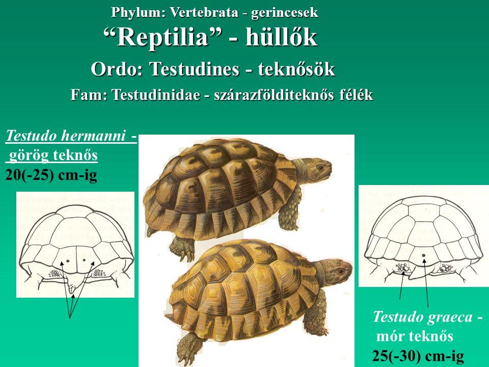 """""""Reptilia"""" - hüllők Phylum: Vertebrata - gerincesek Testudo hermanni - görög teknős 20(-25) cm-ig Fam: Testudinidae - szárazfölditeknős félék Ordo: Te"""