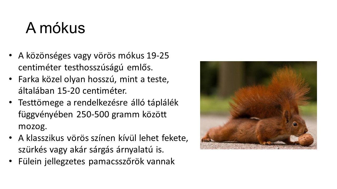 A mókus A közönséges vagy vörös mókus 19-25 centiméter testhosszúságú emlős. Farka közel olyan hosszú, mint a teste, általában 15-20 centiméter. Testt