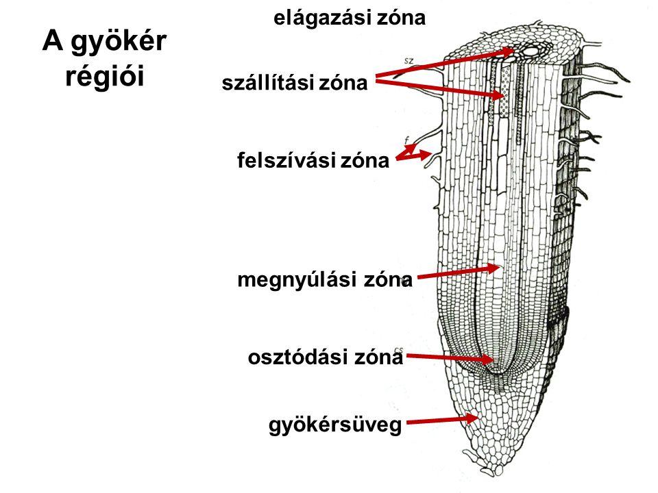 A gyökér régiói osztódási zóna megnyúlási zóna felszívási zóna szállítási zóna elágazási zóna gyökérsüveg