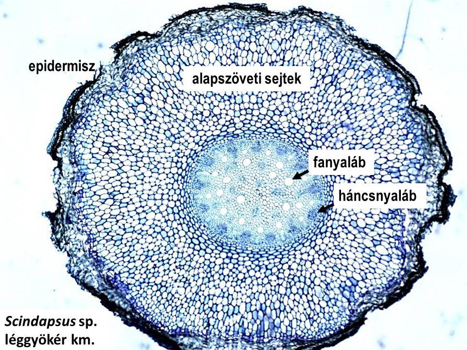 alapszöveti sejtek epidermisz fanyaláb háncsnyaláb Scindapsus sp. léggyökér km.