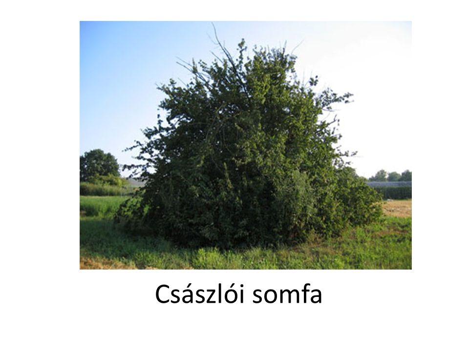 Császlói somfa