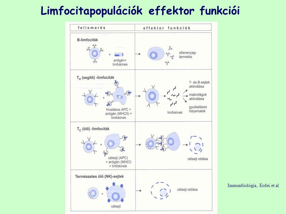 Limfocitapopulációk effektor funkciói Immunbiológia, Erdei et al