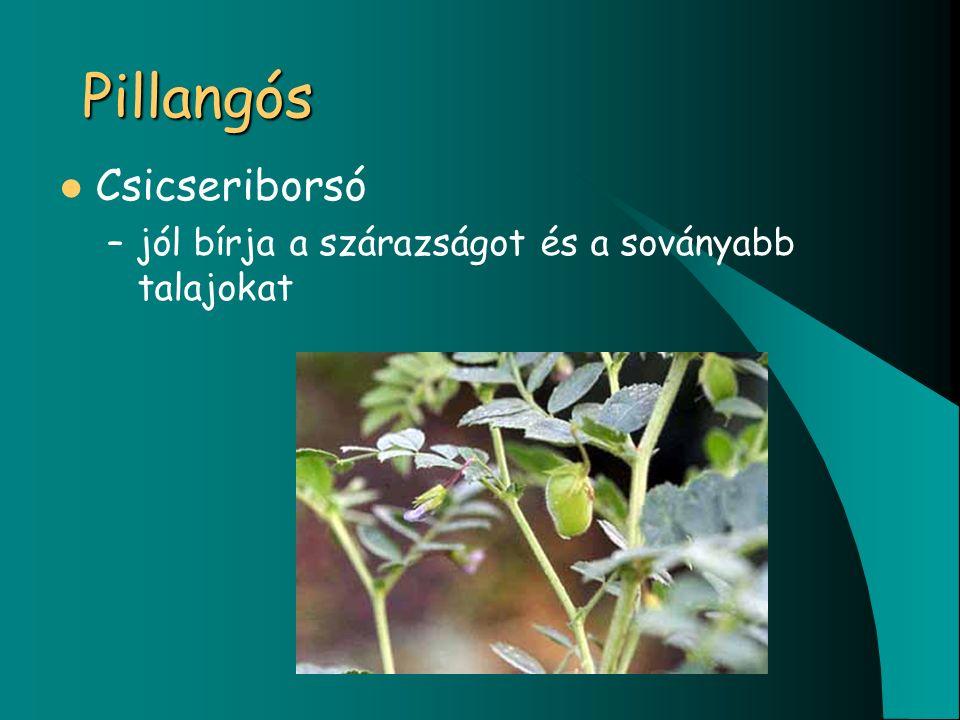 Pillangós Csicseriborsó –jól bírja a szárazságot és a soványabb talajokat