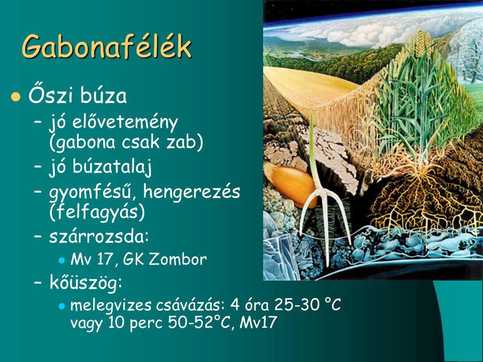 Gabonafélék Őszi búza –jó elővetemény (gabona csak zab) –jó búzatalaj –gyomfésű, hengerezés (felfagyás) –szárrozsda: Mv 17, GK Zombor –kőüszög: melegvizes csávázás: 4 óra 25-30 °C vagy 10 perc 50-52°C, Mv17