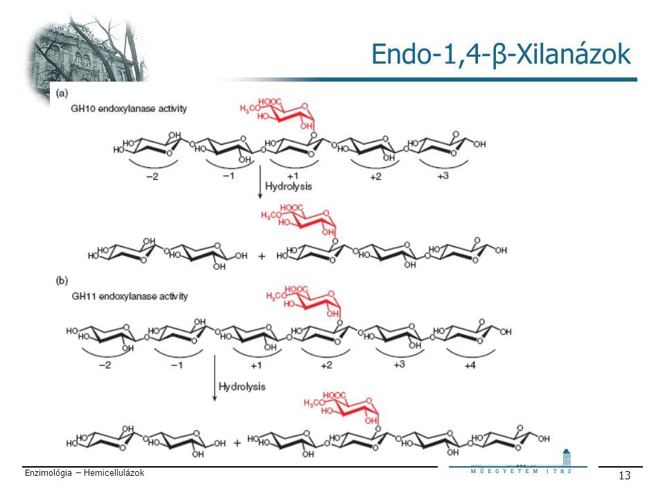 Enzimológia – Hemicellulázok 13 Endo-1,4-β-Xilanázok