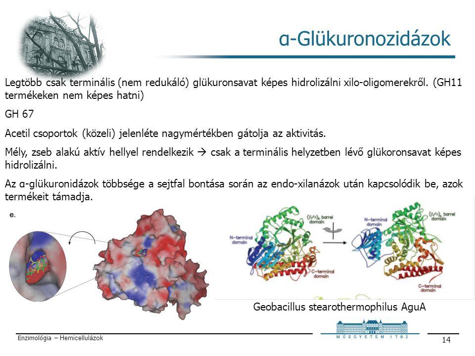 Enzimológia – Hemicellulázok 14 α-Glükuronozidázok Geobacillus stearothermophilus AguA Legtöbb csak terminális (nem redukáló) glükuronsavat képes hidrolizálni xilo-oligomerekről.