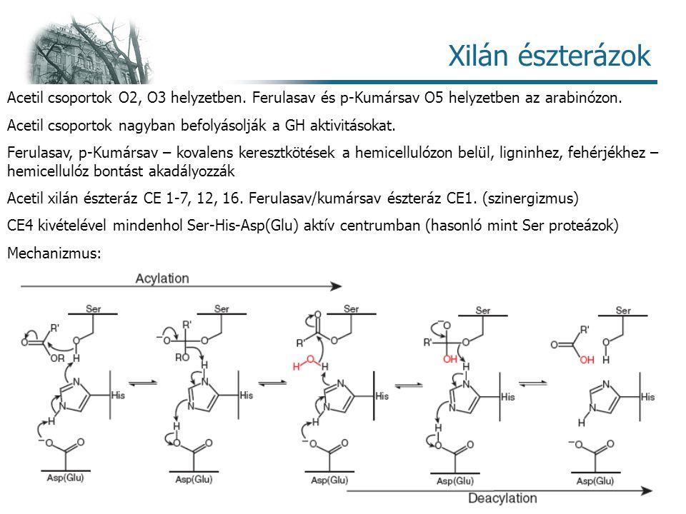 Enzimológia – Hemicellulázok 18 Xilán észterázok Acetil csoportok O2, O3 helyzetben.