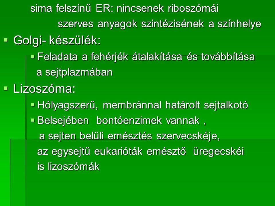 sima felszínű ER: nincsenek riboszómái szerves anyagok szintézisének a színhelye  Golgi- készülék:  Feladata a fehérjék átalakítása és továbbítása a