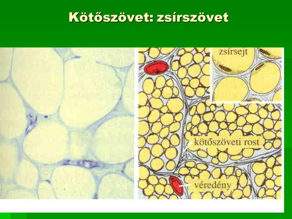 Kötőszövet: zsírszövet
