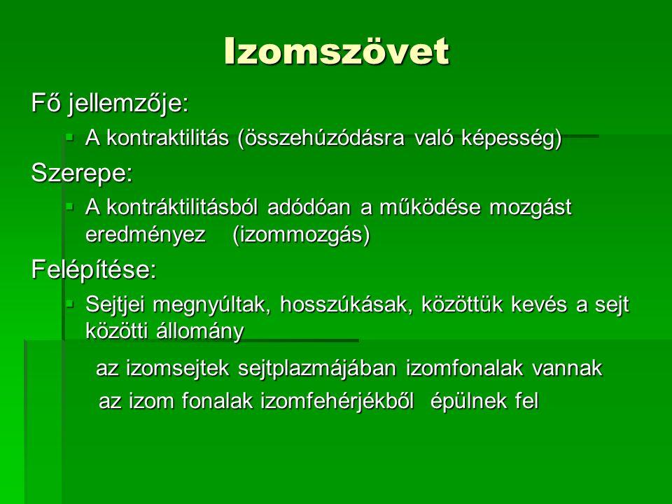 Izomszövet Fő jellemzője:  A kontraktilitás (összehúzódásra való képesség) Szerepe:  A kontráktilitásból adódóan a működése mozgást eredményez(izomm