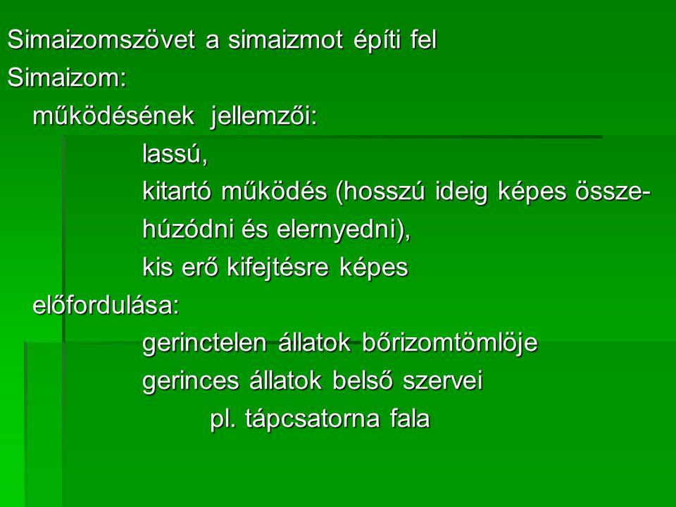 Simaizomszövet a simaizmot építi fel Simaizom: működésének jellemzői: lassú, kitartó működés (hosszú ideig képes össze- húzódni és elernyedni), kis erő kifejtésre képes előfordulása: gerinctelen állatok bőrizomtömlöje gerinces állatok belső szervei pl.