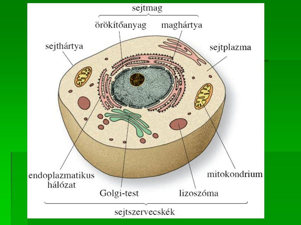 Az állati sejt részei   Sejtfala nincs .