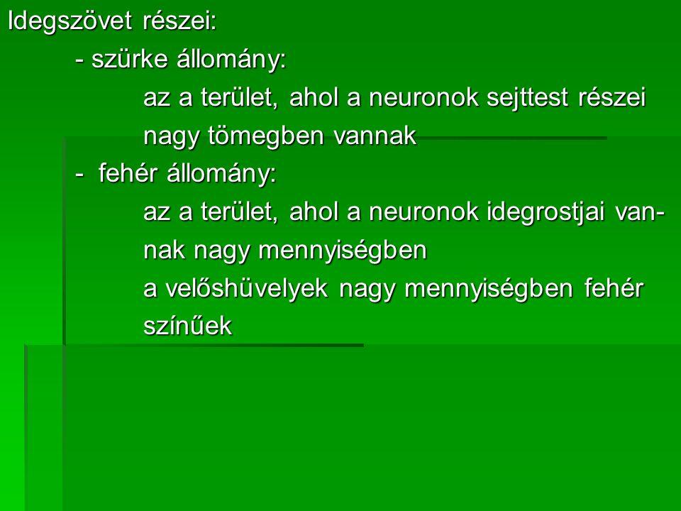 Idegszövet részei: - szürke állomány: az a terület, ahol a neuronok sejttest részei nagy tömegben vannak - fehér állomány: az a terület, ahol a neuron