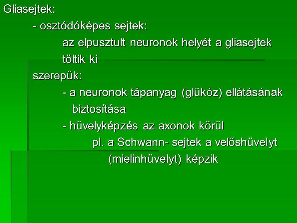 Gliasejtek: - osztódóképes sejtek: az elpusztult neuronok helyét a gliasejtek töltik ki szerepük: - a neuronok tápanyag (glükóz) ellátásának biztosítá