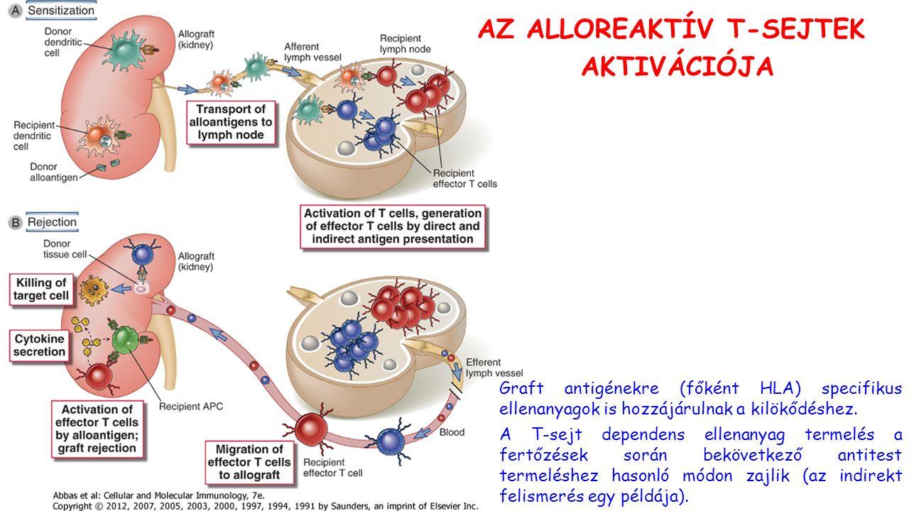 AZ ALLOREAKTÍV T-SEJTEK AKTIVÁCIÓJA Graft antigénekre (főként HLA) specifikus ellenanyagok is hozzájárulnak a kilökődéshez.