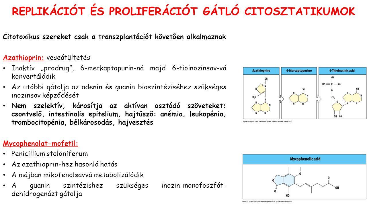 """REPLIKÁCIÓT ÉS PROLIFERÁCIÓT GÁTLÓ CITOSZTATIKUMOK Citotoxikus szereket csak a transzplantációt követően alkalmaznak Azathioprin: veseátültetés Inaktív """"prodrug , 6-merkaptopurin-ná majd 6-tioinozinsav-vá konvertálódik Az utóbbi gátolja az adenin és guanin bioszintéziséhez szükséges inozinsav képződését Nem szelektív, károsítja az aktívan osztódó szöveteket: csontvelő, intestinalis epitelium, hajtüsző: anémia, leukopénia, trombocitopénia, bélkárosodás, hajvesztés Mycophenolat-mofetil: Penicillium stoloniferum Az azathioprin-hez hasonló hatás A májban mikofenolsavvá metabolizálódik A guanin szintézishez szükséges inozin-monofoszfát- dehidrogenázt gátolja"""