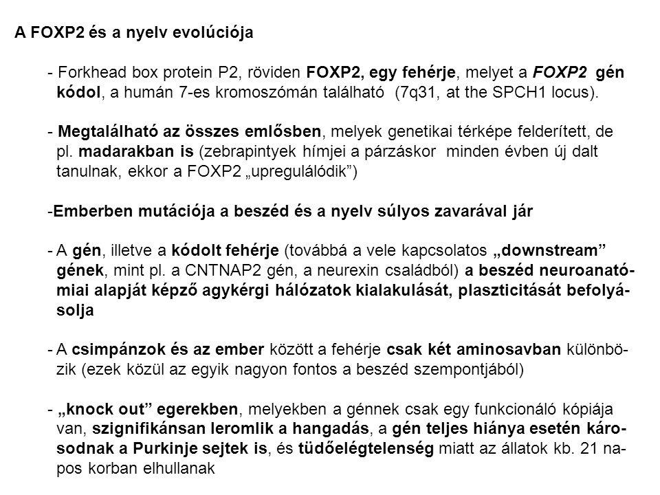 """- Emberben a fejlődési nyelvi dyspraxia számos esetében megfigyelhető volt a gén mutációja - Kognitív zavarok nem, vagy csak enyhe formában jelentkeztek ezeknél az egyéneknél, de a beszéd-motarikájuk súlyosan károsodott - fMRI vizsgálatok azt mutatták, hogy akár """"hangtalan olvasás, akár szóismét- lés során a Broca-régió és a putamen alul-aktivált, - a FOXP2-t mint a nyelv-génjét tartják számon (okoz még szövegértési problé- mákat tovább tüdő-problémákat) Evolúciós vonatkozások: - Neandervölgyi ősember csontmaradványaiból izolált DNS alapján megállapí- tották, hogy a FOXP2 gén megegyező alléljai tálhatók bennük, mint a mai emberben (feltehetően 300 000 éve terjedt el a mai alak) - Néhány kutató feltételezi, hogy a csimpánzok és az ember között a FOXP2 gén megváltozása, - ami a kódolt fehérjeszekvenciában mindössze két amino- sav megváltozását jelenti a 715-közül – vezetett az emberi nyelv kialakulásá- hoz"""