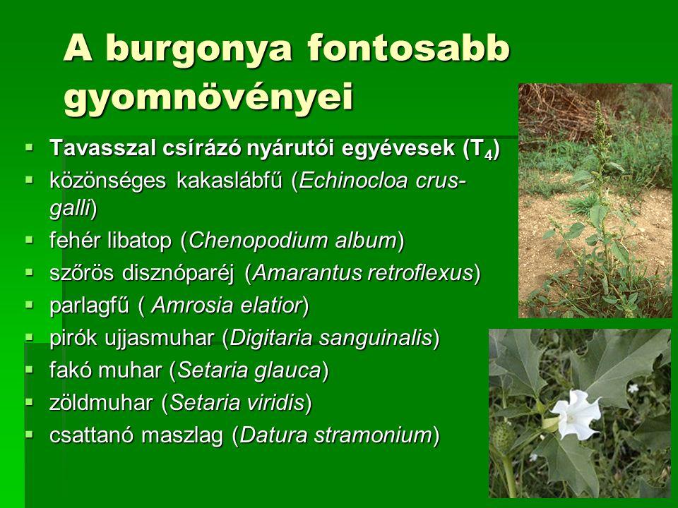 A burgonya fontosabb gyomnövényei  Tavasszal csírázó nyárutói egyévesek (T 4 )  közönséges kakaslábfű (Echinocloa crus- galli)  fehér libatop (Chenopodium album)  szőrös disznóparéj (Amarantus retroflexus)  parlagfű ( Amrosia elatior)  pirók ujjasmuhar (Digitaria sanguinalis)  fakó muhar (Setaria glauca)  zöldmuhar (Setaria viridis)  csattanó maszlag (Datura stramonium)
