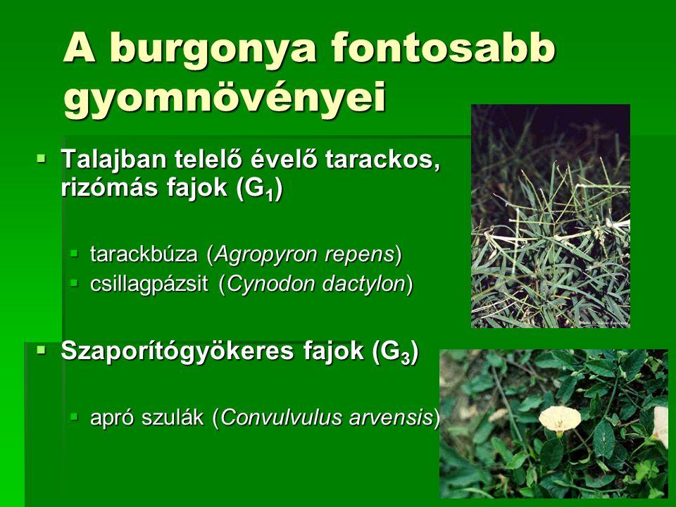 A burgonya fontosabb gyomnövényei  Talajban telelő évelő tarackos, rizómás fajok (G 1 )  tarackbúza (Agropyron repens)  csillagpázsit (Cynodon dactylon)  Szaporítógyökeres fajok (G 3 )  apró szulák (Convulvulus arvensis)