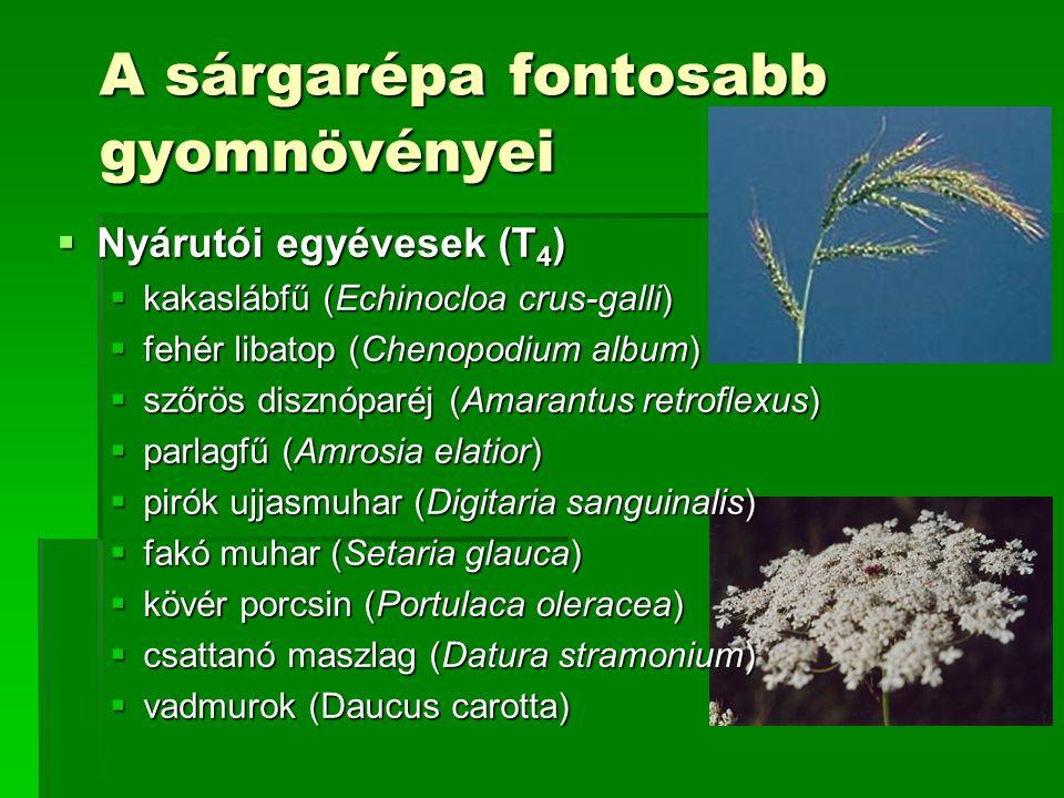 A sárgarépa fontosabb gyomnövényei  Nyárutói egyévesek (T 4 )  kakaslábfű (Echinocloa crus-galli)  fehér libatop (Chenopodium album)  szőrös disznóparéj (Amarantus retroflexus)  parlagfű (Amrosia elatior)  pirók ujjasmuhar (Digitaria sanguinalis)  fakó muhar (Setaria glauca)  kövér porcsin (Portulaca oleracea)  csattanó maszlag (Datura stramonium)  vadmurok (Daucus carotta)
