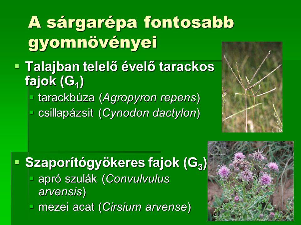 A sárgarépa fontosabb gyomnövényei  Talajban telelő évelő tarackos fajok (G 1 )  tarackbúza (Agropyron repens)  csillapázsit (Cynodon dactylon)  Szaporítógyökeres fajok (G 3 )  apró szulák (Convulvulus arvensis)  mezei acat (Cirsium arvense)
