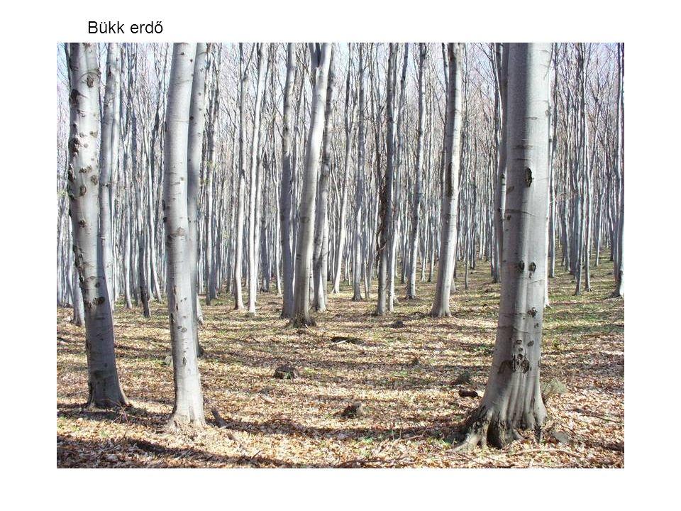 Bükk erdő