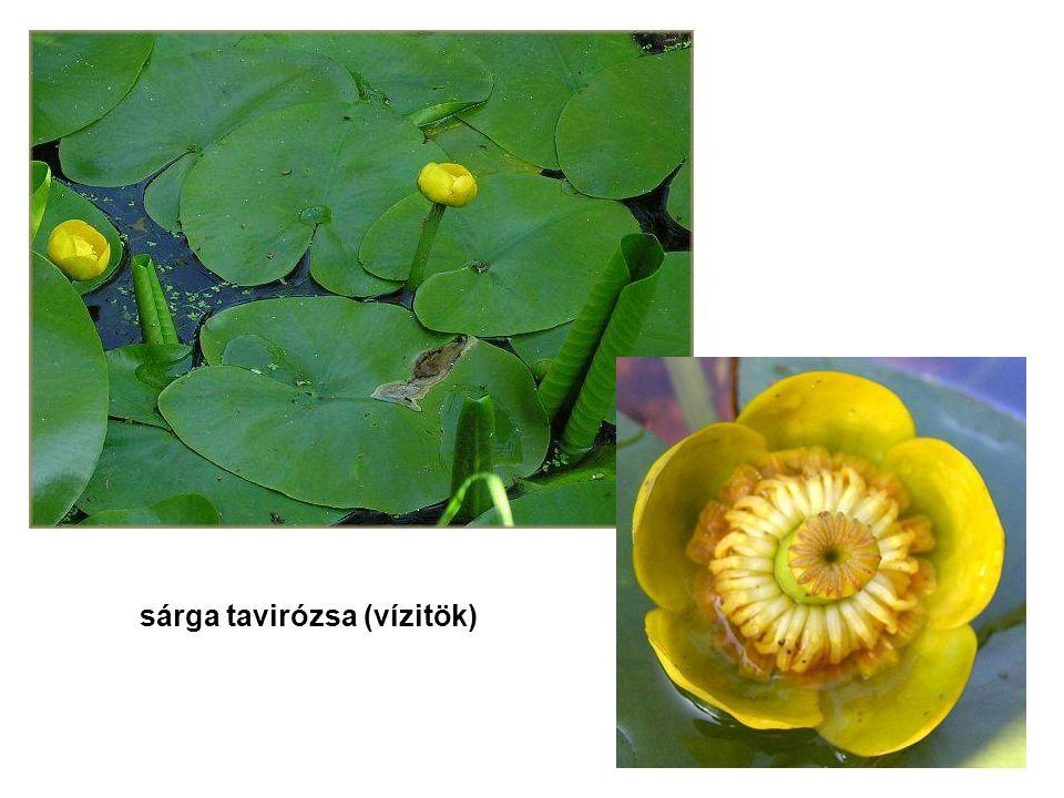 sárga tavirózsa (vízitök)
