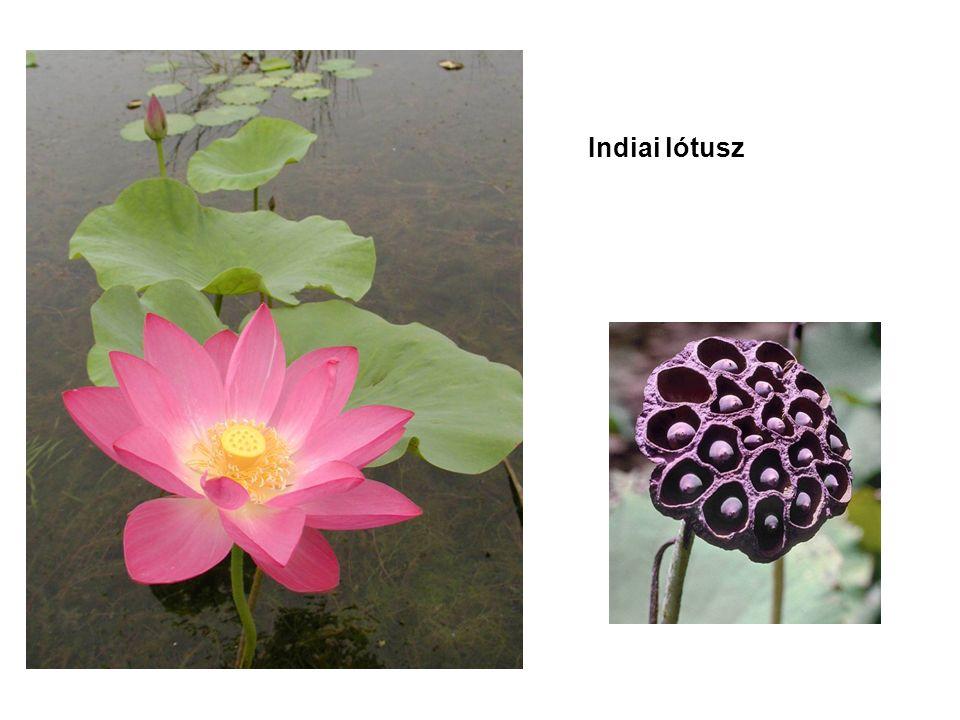 Indiai lótusz