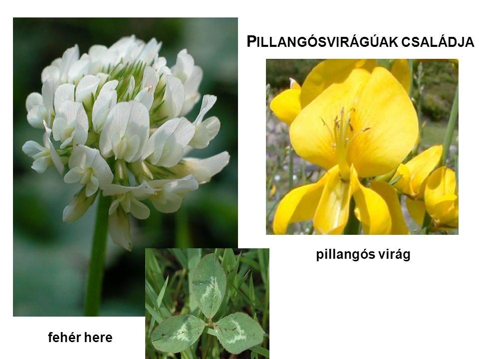 fehér here P ILLANGÓSVIRÁGÚAK CSALÁDJA pillangós virág