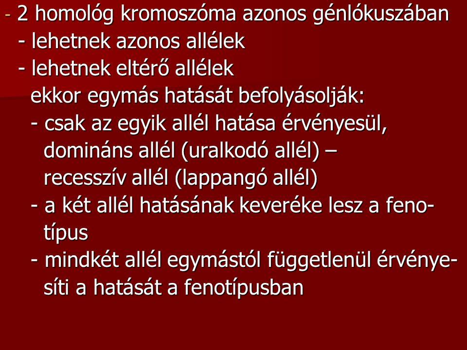 - 2 homológ kromoszóma azonos génlókuszában - lehetnek azonos allélek - lehetnek azonos allélek - lehetnek eltérő allélek - lehetnek eltérő allélek ekkor egymás hatását befolyásolják: ekkor egymás hatását befolyásolják: - csak az egyik allél hatása érvényesül, - csak az egyik allél hatása érvényesül, domináns allél (uralkodó allél) – domináns allél (uralkodó allél) – recesszív allél (lappangó allél) recesszív allél (lappangó allél) - a két allél hatásának keveréke lesz a feno- - a két allél hatásának keveréke lesz a feno- típus típus - mindkét allél egymástól függetlenül érvénye- - mindkét allél egymástól függetlenül érvénye- síti a hatását a fenotípusban síti a hatását a fenotípusban