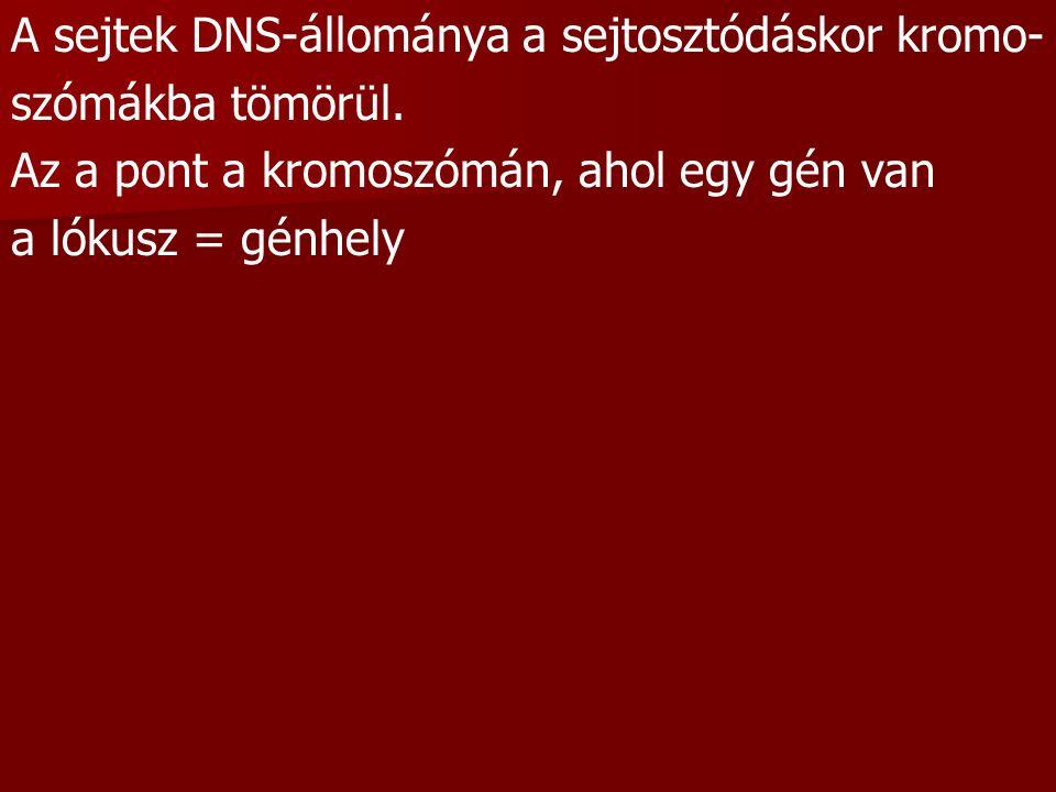 A sejtek DNS-állománya a sejtosztódáskor kromo- szómákba tömörül. Az a pont a kromoszómán, ahol egy gén van a lókusz = génhely