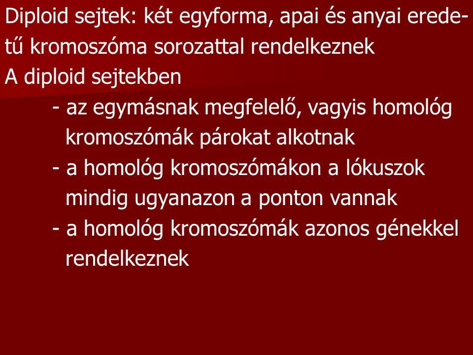 Diploid sejtek: két egyforma, apai és anyai erede- tű kromoszóma sorozattal rendelkeznek A diploid sejtekben - az egymásnak megfelelő, vagyis homológ kromoszómák párokat alkotnak - a homológ kromoszómákon a lókuszok mindig ugyanazon a ponton vannak - a homológ kromoszómák azonos génekkel rendelkeznek