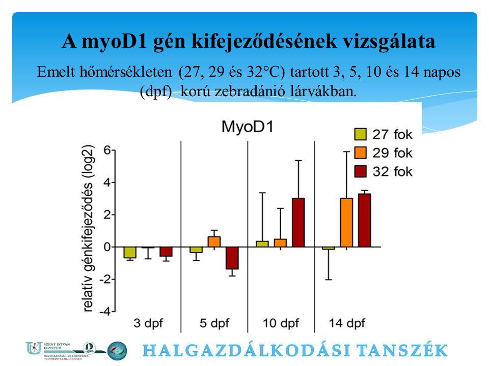 A myoD1 gén kifejeződésének vizsgálata Emelt hőmérsékleten (27, 29 és 32°C) tartott 3, 5, 10 és 14 napos (dpf) korú zebradánió lárvákban.