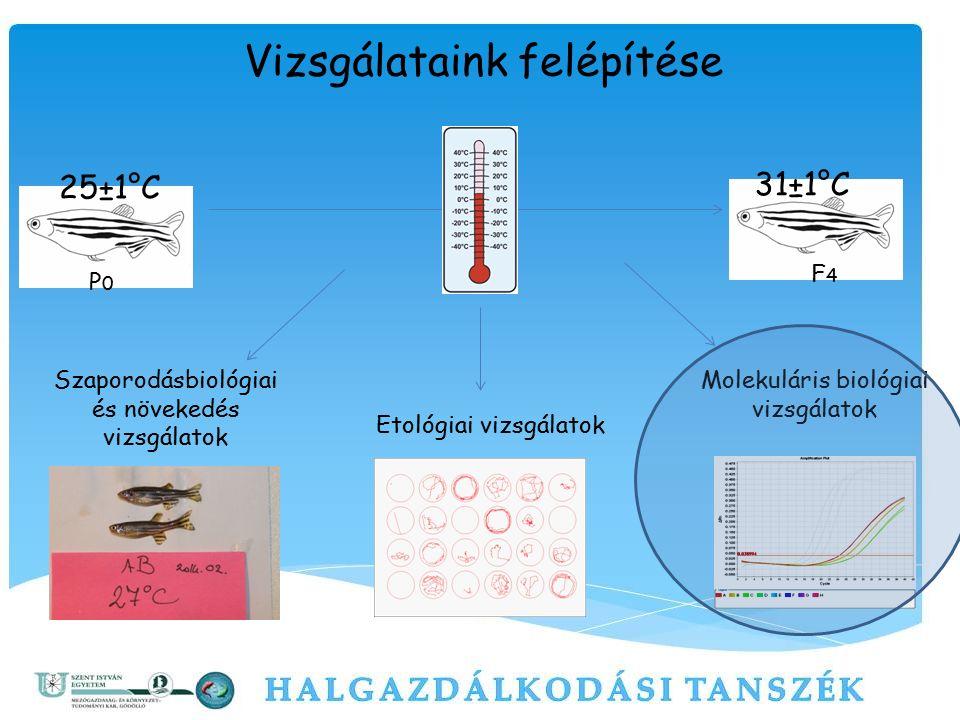 Vizsgálataink felépítése 31±1°C 25±1°C Szaporodásbiológiai és növekedés vizsgálatok Etológiai vizsgálatok Molekuláris biológiai vizsgálatok P0P0 F4F4