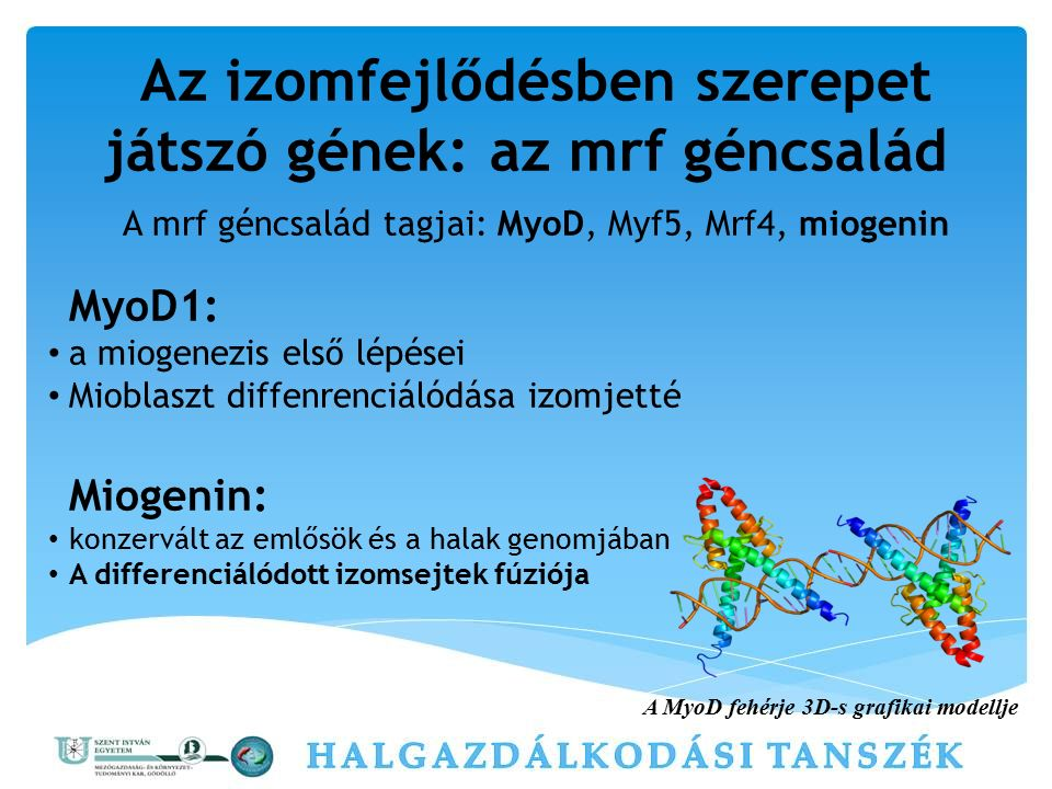 Az izomfejlődésben szerepet játszó gének: az mrf géncsalád A mrf géncsalád tagjai: MyoD, Myf5, Mrf4, miogenin MyoD1: a miogenezis első lépései Mioblas