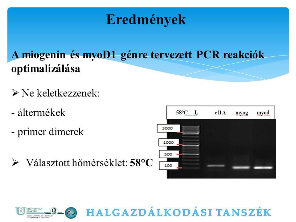 Eredmények A miogenin és myoD1 génre tervezett PCR reakciók optimalizálása  Ne keletkezzenek: - áltermékek - primer dimerek  Választott hőmérséklet: