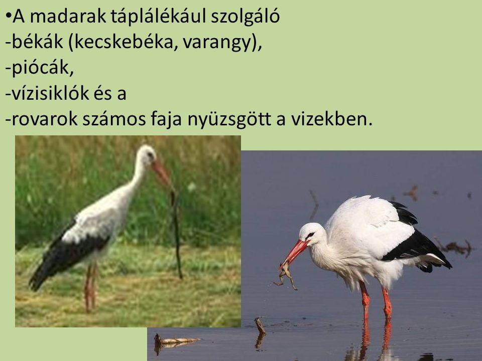 A madarak táplálékául szolgáló -békák (kecskebéka, varangy), -piócák, -vízisiklók és a -rovarok számos faja nyüzsgött a vizekben.