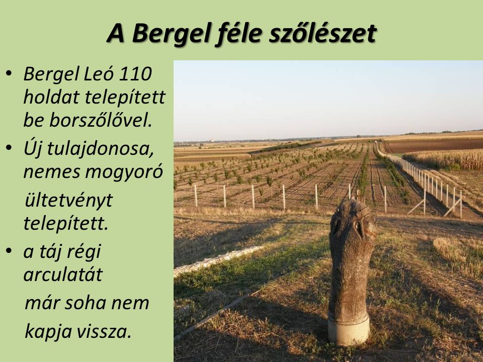 A Bergel féle szőlészet Bergel Leó 110 holdat telepített be borszőlővel.