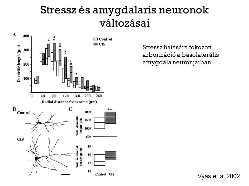 Stressz és amygdalaris neuronok változásai Stressz hatására fokozott arborizáció a basolaterális amygdala neuronjaiban Vyas et al 2002