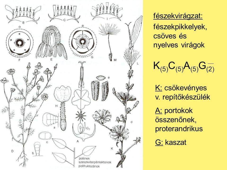K (5) C (5) A (5) G (2) K: csökevényes v.