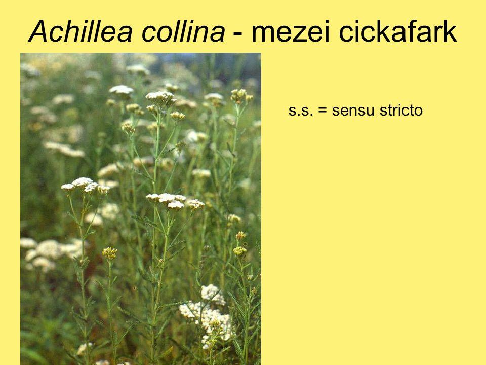 Achillea collina - mezei cickafark s.s. = sensu stricto