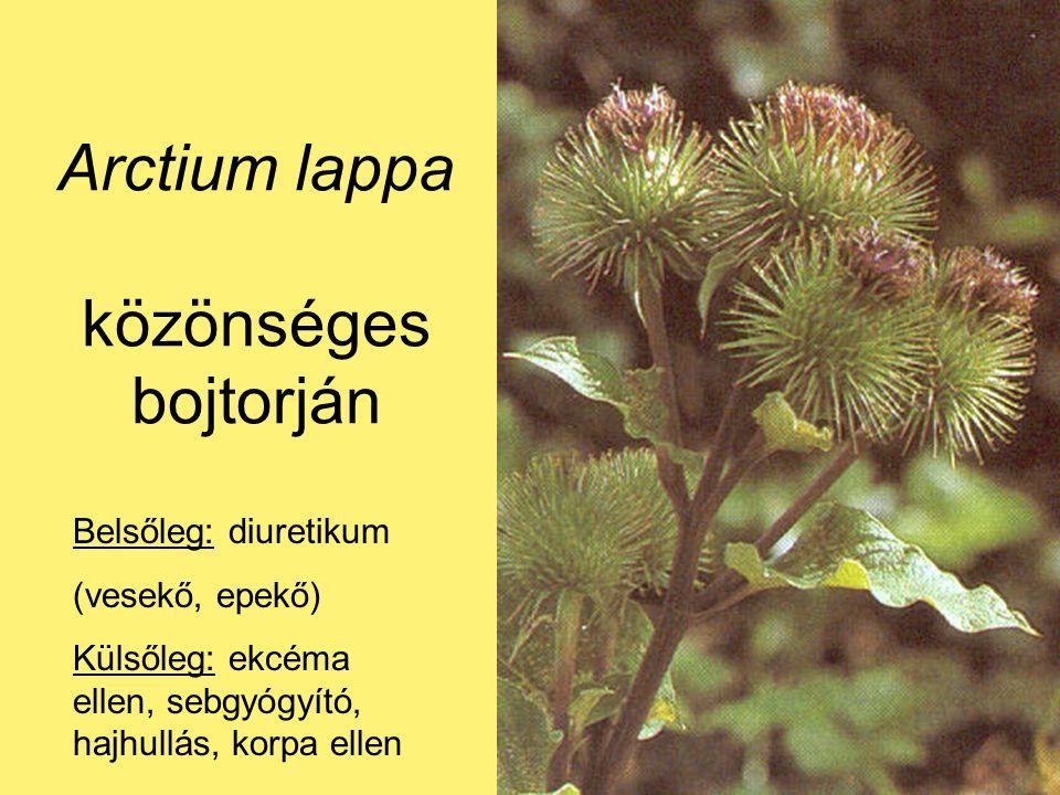Arctium lappa közönséges bojtorján Belsőleg: diuretikum (vesekő, epekő) Külsőleg: ekcéma ellen, sebgyógyító, hajhullás, korpa ellen