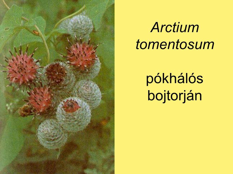 Arctium tomentosum pókhálós bojtorján