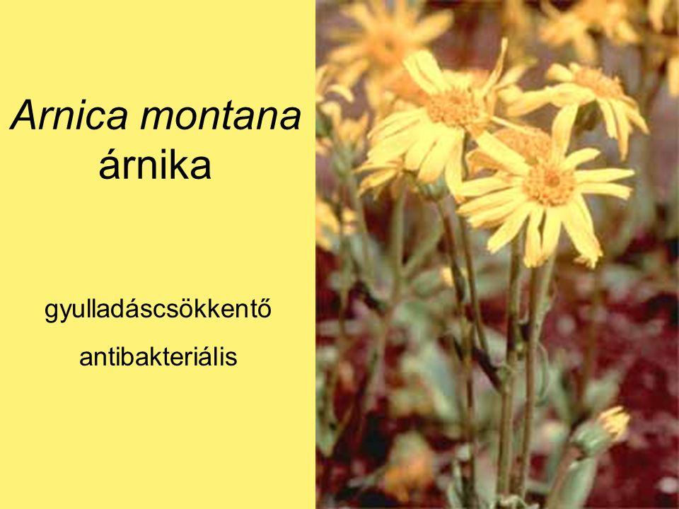 Arnica montana árnika gyulladáscsökkentő antibakteriális