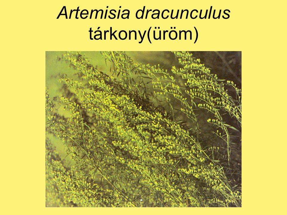 Artemisia dracunculus tárkony(üröm)