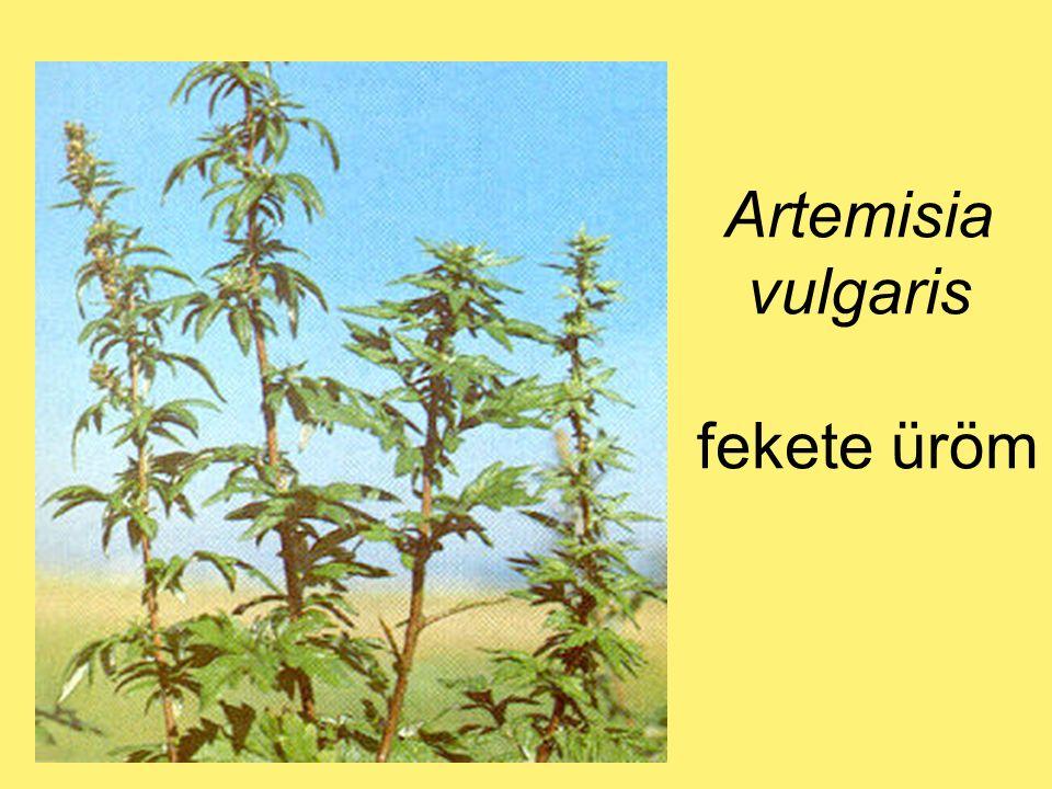 Artemisia vulgaris fekete üröm